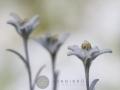 Flor de las nieves o Edelweiss (Leontopodium alpinum)