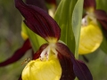 Zapatito de dama (Cypripedium calceolus)
